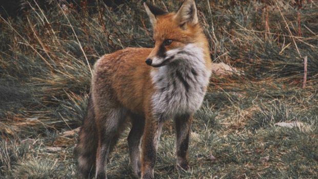 Variedades y tipos de zorros