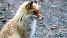 Curiosidades sobre tipos de zorros