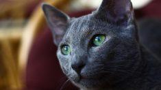 Curiosidades del gato azul ruso
