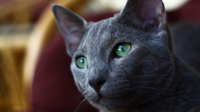 E gato azul ruso