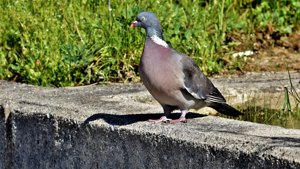 Curiosidades de la paloma torcaz