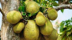 Jackfruit la fruta gigante que sabe a cerdo