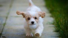 Curiosos perros: el cavachón