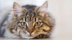 ¿Para qué sirven los bigotes de los gatos Todas sus funciones