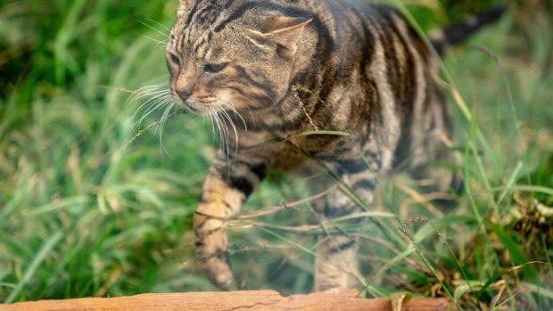 El gato sokoke