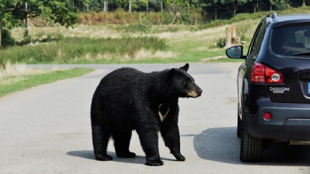 La agresividad del oso