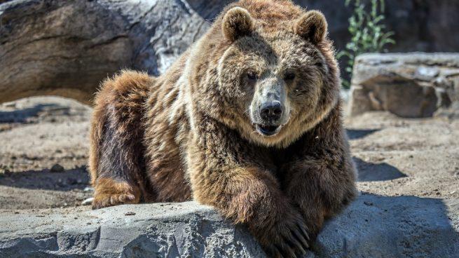 Es agresivo el oso