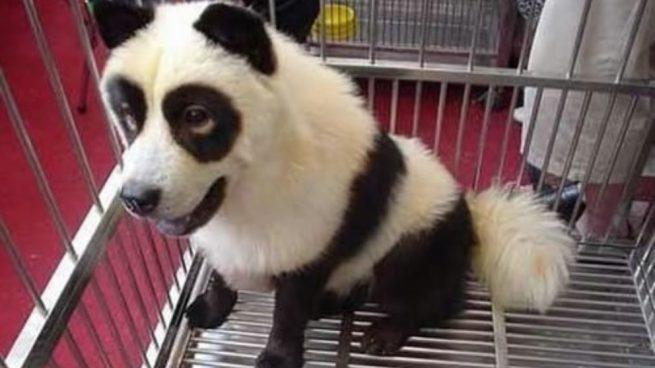Perros panda orientales