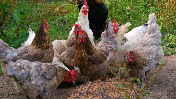 Clases de gallinas