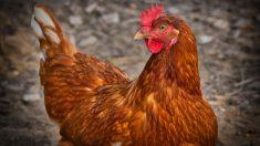 Razas importantes de gallinas