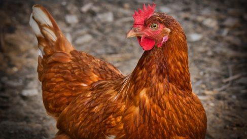 Facebook: El misterio de unas gallinas indias que ponen huevos con la yema verde