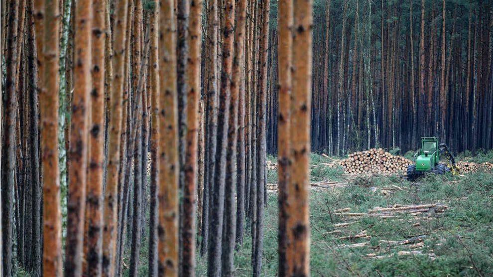 El bosque amenazado por la fábrica de Tesla