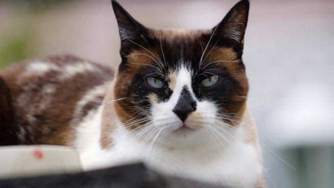 El gato snowshoe