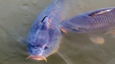Peces de ríos y pantanos, la carpa