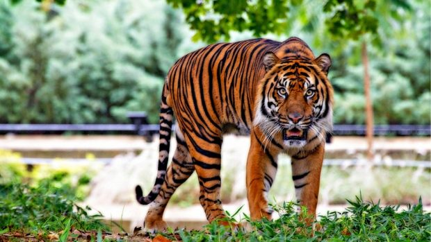 Tigre animales carnívoros