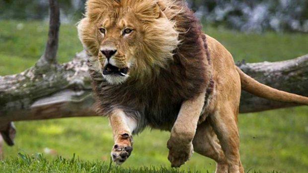 El león corriendo
