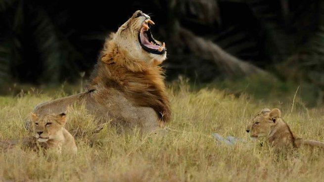 Agresividad del león
