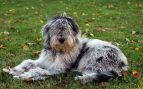 El perro bergamasco