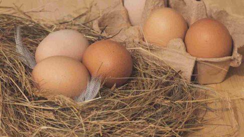 Gallinas ponedoras y sus huevos diarios