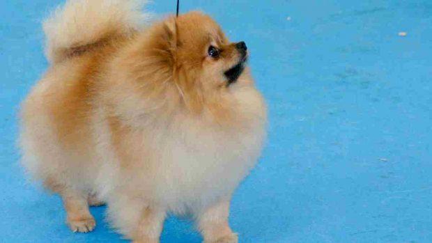 El perro Pomerania
