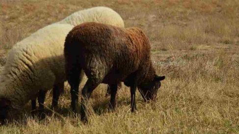 Diferentes razas de ovejas