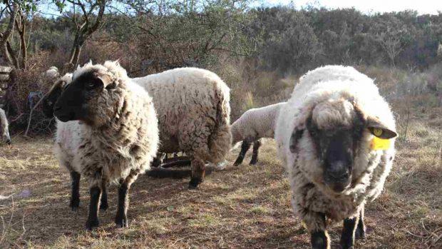 Clases de ovejas