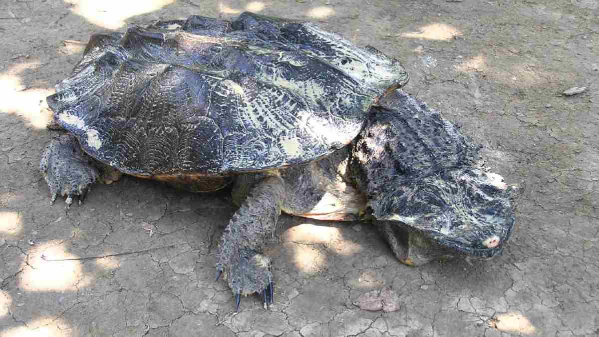 Curiosidades de la tortuga Matamata