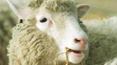 El 22 de febrero de 1997 se anuncia la clonación de la oveja Dolly