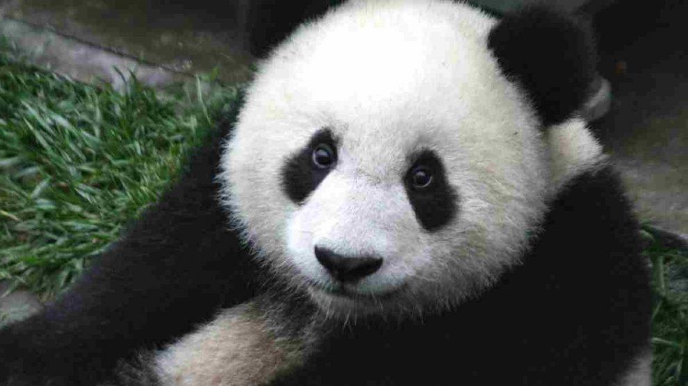 El oso panda supervivencia de la especie