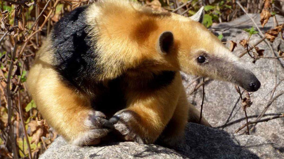 Curiosidades del oso melero