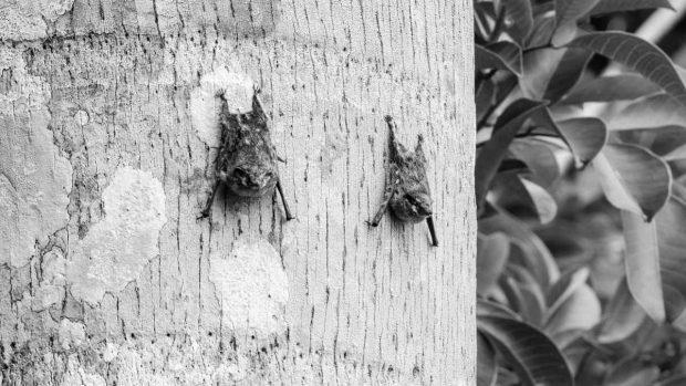 gran murciélago marrón comer a qué hora de la noche