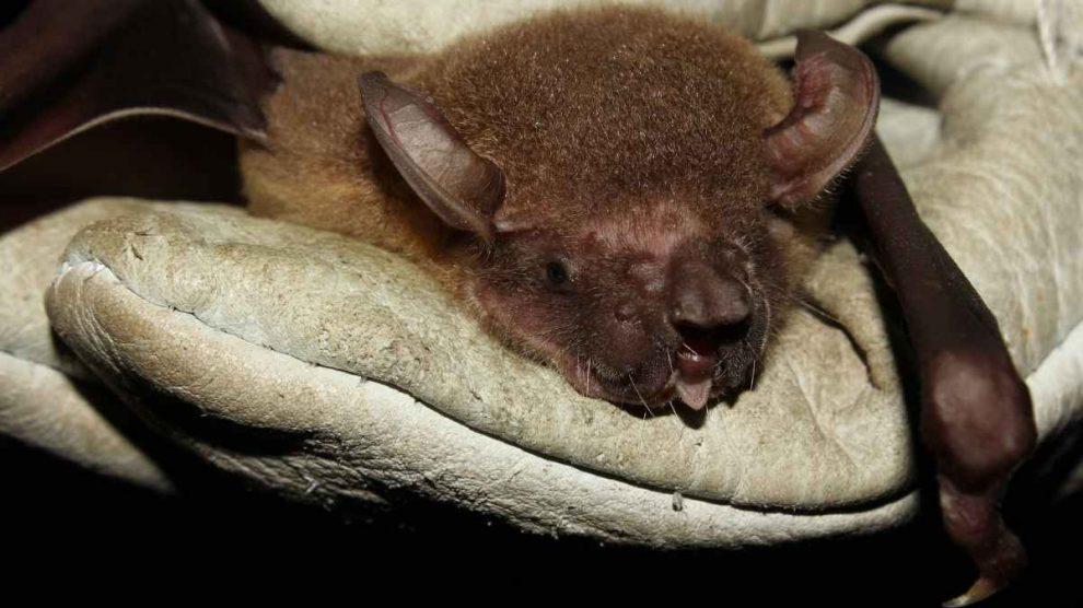 Animales curiosos: el murciélago pescador