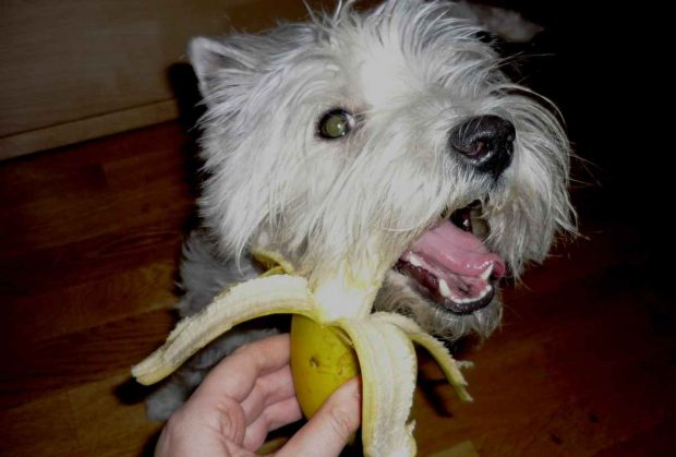 Perro come plátano