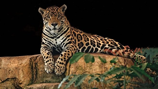 Jaguar, animal agresivo