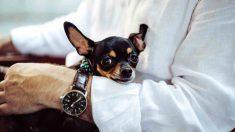 Perros miniatura para adoptar