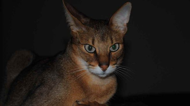 El gato Chausie