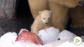 oso-polar-cria-coppenaghe
