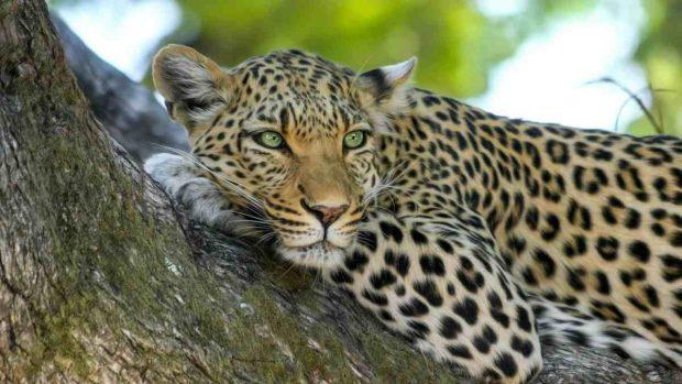 Animales solitarios, el leopardo