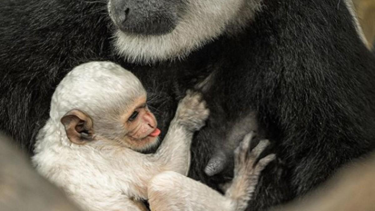 Facebook: Nace un nuevo 'Copito de nieve' un mono albino