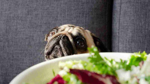 Perro y ensalada
