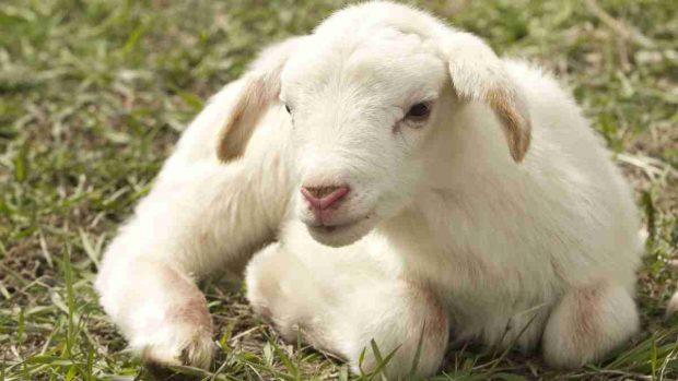 Tipos de ovejas