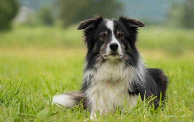 ¿Cuál es la raza de perro más tranquilo?