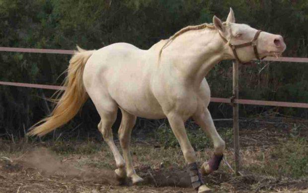 Ell caballo lusitano