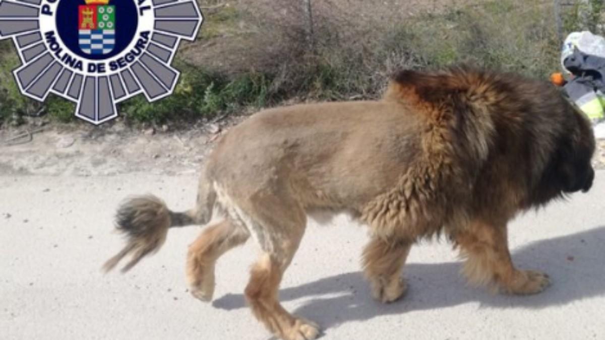 Un perro con un extraño corte de pelo es confundido con un león