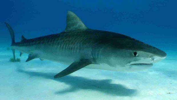 ¿Cuál es la especie marina más agresiva?