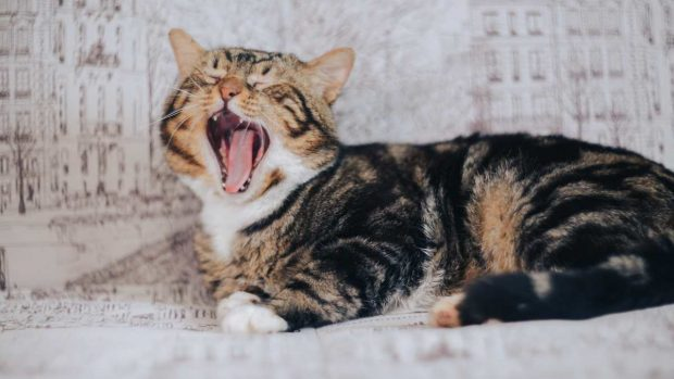Gato respira