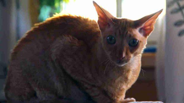 El gato Cornish Rex