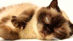 Gatos curiosos: British Shorthair