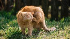Piel de gatos: el acné felino