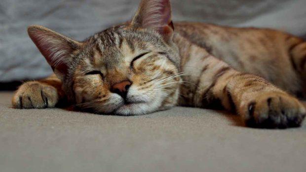 ¿Es bueno dar perfume a los gatos?